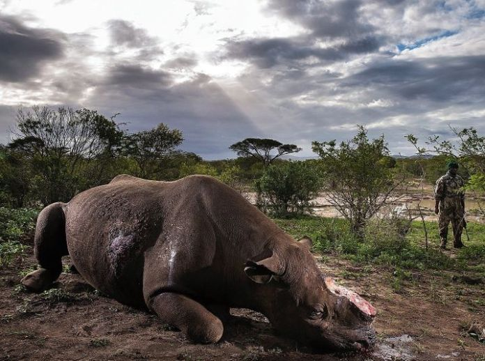 """A rhino killed by poachers: """"It's a dirty business involving a lot of money."""""""