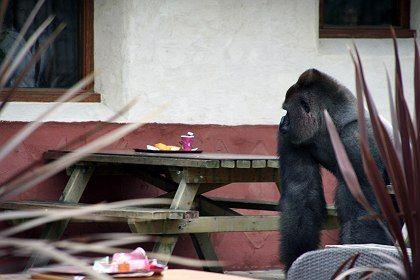 photo gallery bokito s rampage in rotterdam zoo der spiegel