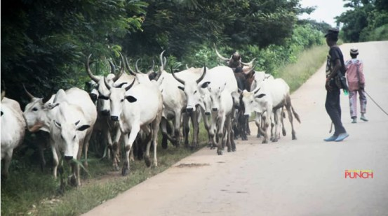 A group of cattle breeders condemns the list of cattle breeders, cattle breeders – Punch Newspapers