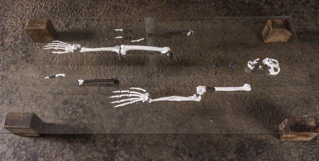 Reconstruction d'un squelette de Danuvius guggrnmosi