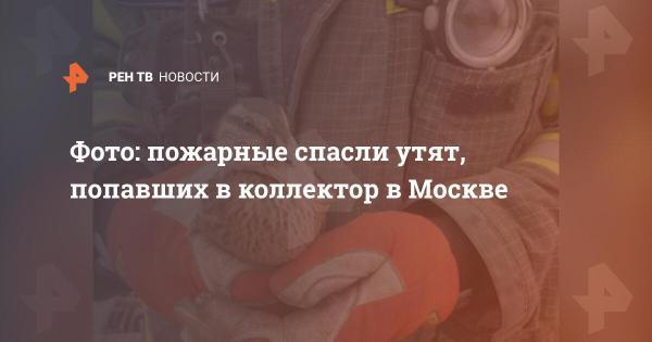 Фото: пожарные спасли утят, попавших в коллектор в Москве ...