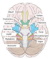 nerfs-crânien