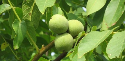 Members of the genus Juglans are wind-pollinated trees in the family Juglandaceae.