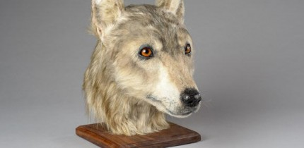 A 3D model created from a dog skull discovered at Cuween Hill chambered cairn, Orkney, Scotland. Image credit: Historic Environment Scotland.