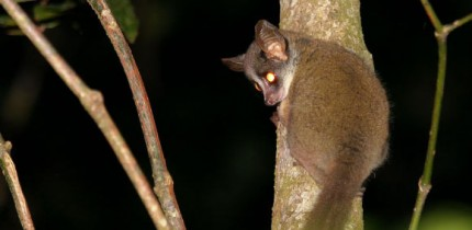 The Taita Mountain dwarf galago photographed in Ngangao Forest in 2019. Image credit: Hanna Rosti.