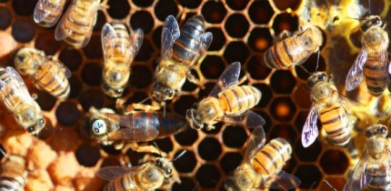 A 'super' Cape honeybee worker (black in center) is nearly as big as a queen (with white disc). Image credit: Benjamin Oldroyd, University of Sydney.