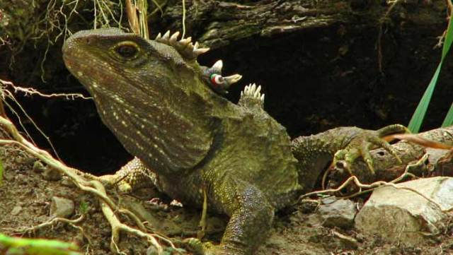 The tuatara (Sphenodon punctatus). Imager credit: Michael Hamilton, Digitaltrails / CC BY-SA 3.0.