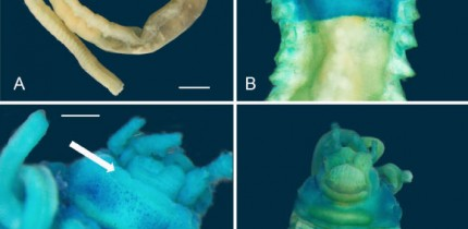 Light microscope images of Melinnopsis gardelli: (A) holotype, lateral view of complete specimen; (B) holotype, dorsal view of anterior region, arrow indicates postbranchial dorsal membrane; (C) holotype prostomium, arrow indicates slightly raised lip; (D) lateral view of anterior region, arrows indicate acicular neurochaetae and (E) ventral view of anterior region showing ventral shields. Scale bars - 1 mm. Image credit: Gunton et al, doi: 10.3853/j.2201-4349.72.2020.1763.