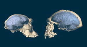 New research investigates the origins of the structurally modern human brain  Anthropology, paleoanthropology