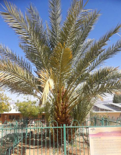 A Judean date palm (Phoenix dactylifera) that was germinated from a 2,200-year-old seed, now growing in Israel. Image credit: Sarah Sallon.