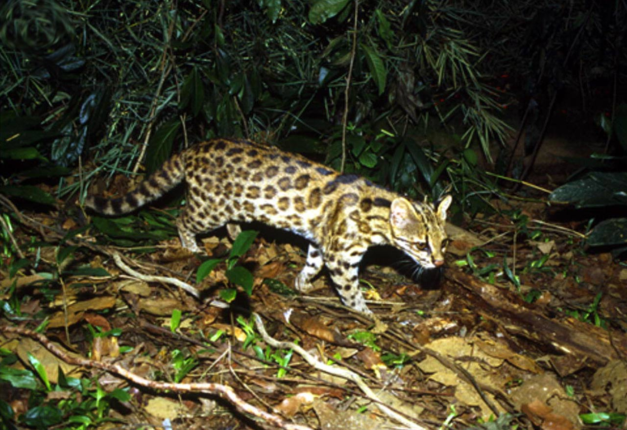 Leopardus guttulus, the new species. Image credit: Trigo TC et al.