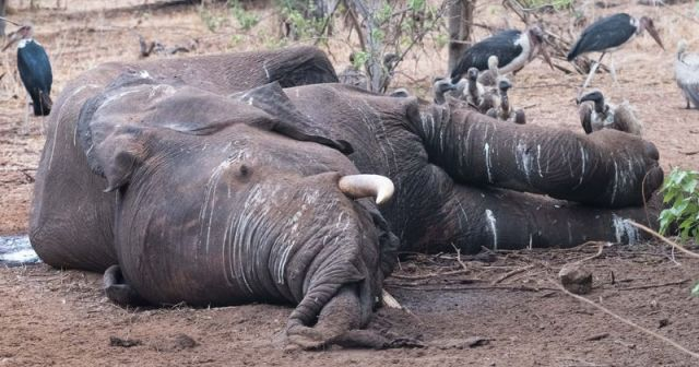 Hundreds Of Elephants Have Been Found Dead In Mysterious Circumstances In  Botswana