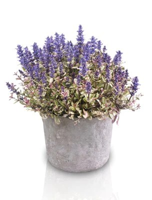 Plant of the month: Ajuga