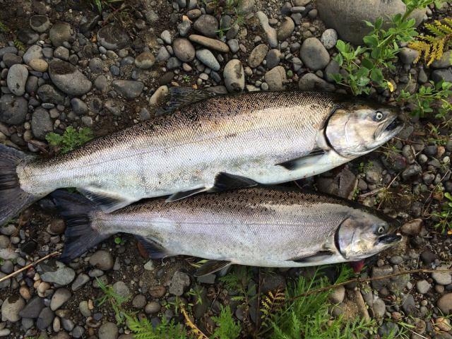 spring chinook salmon kings fishing big fish chrome