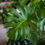 Greenery Unlimited Monstera Deliciosa Care