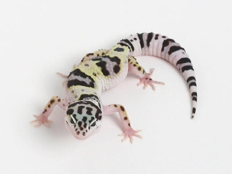 Halloween Mask Leopard Gecko.Halloween Mask X Tug Snow Leopard Gecko 070113b Female Modern Home