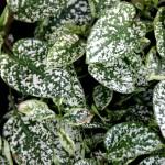 Hippo 174 White Polka Dot Plant Green Acres Nursery Supply