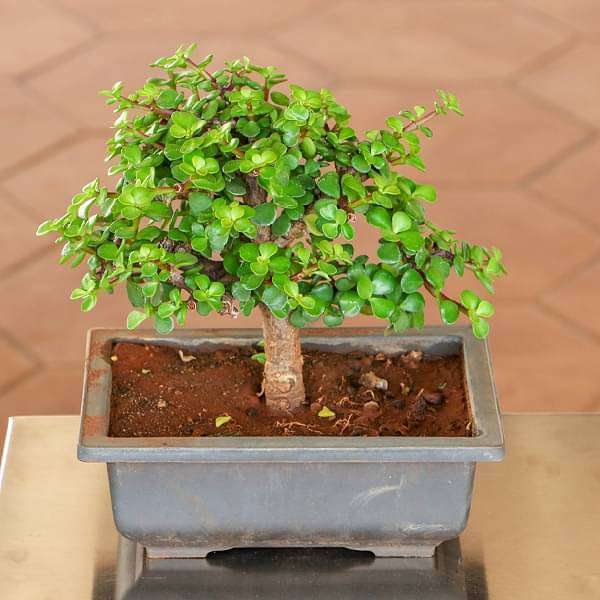 Sara elliott bonsai is the ancient art of discovering and honoring nature by rendering. Buy Jade Bonsai Plant Online From Nurserylive At Lowest Price