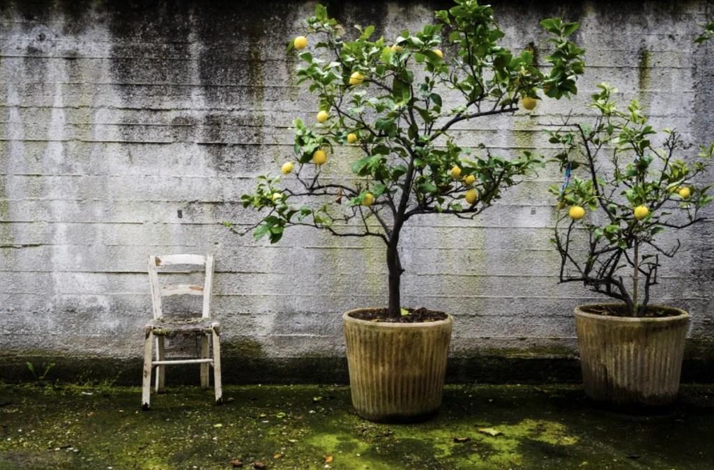 meyer lemon trees 7 secrets for tons
