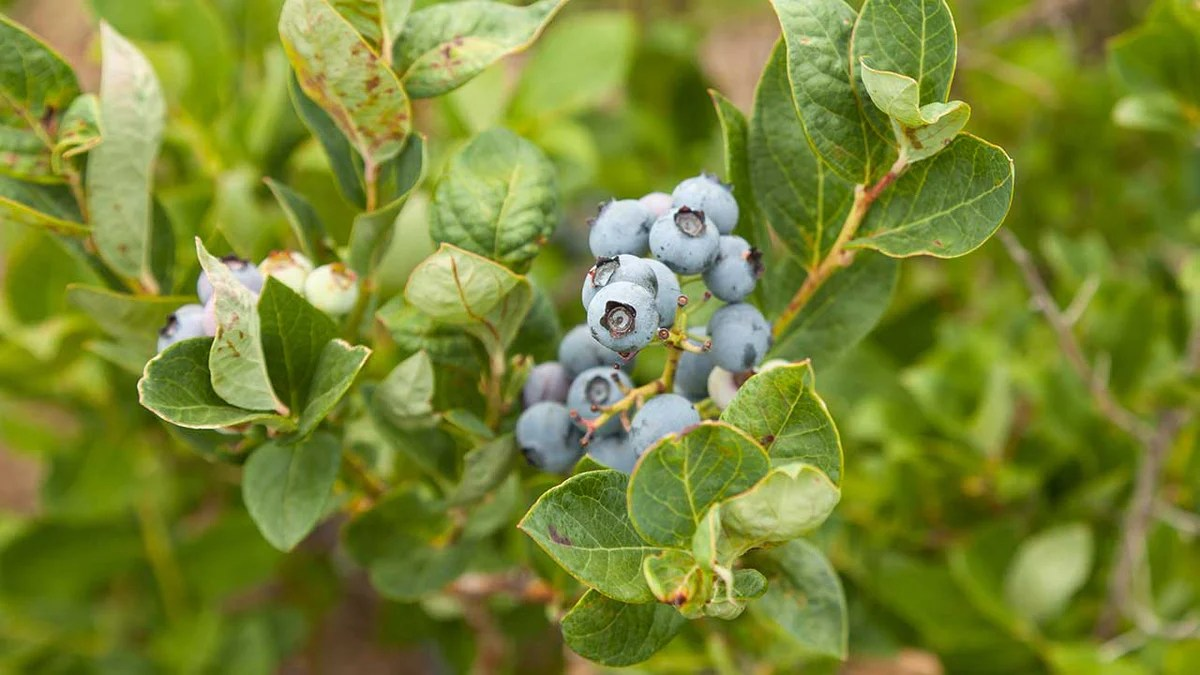 growing blueberries in containers organic gardening blog grow organic