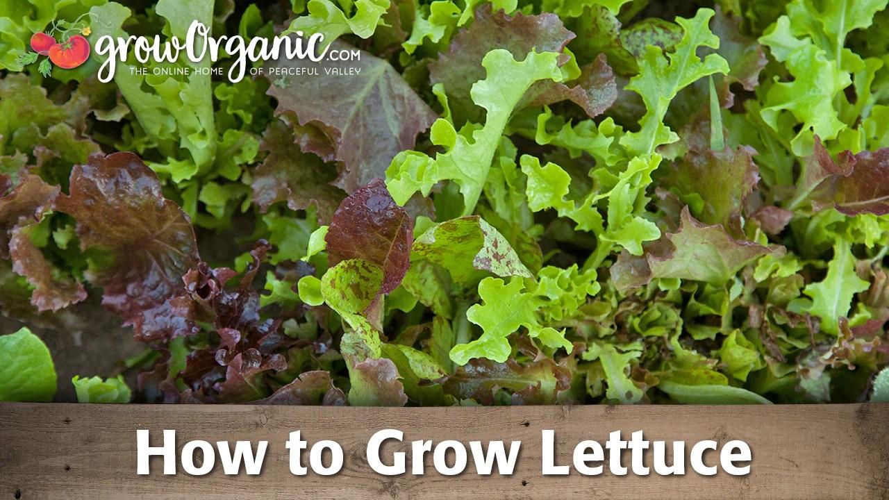 How To Grow Lettuce Organic Gardening Videos Grow Organic