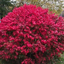 Large Shrubs 6 Feet Or More For Sale Brighterblooms Com