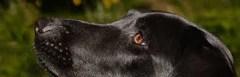 Dog Dry Nose