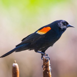 Bird Feature: Red-winged Blackbird – Natureswaybirds.com