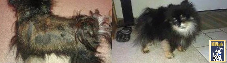 DERMagic Results In Pictures Animal Skin Problems Dog