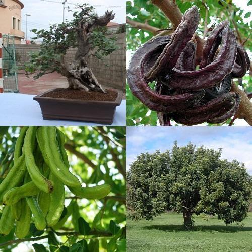 Carob Chocolate Tree Ceratonia Siliqua Exotic