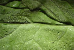 Closeup of a Collard green leaf