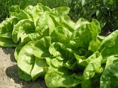 Row of Lettuce Ready for Harvest
