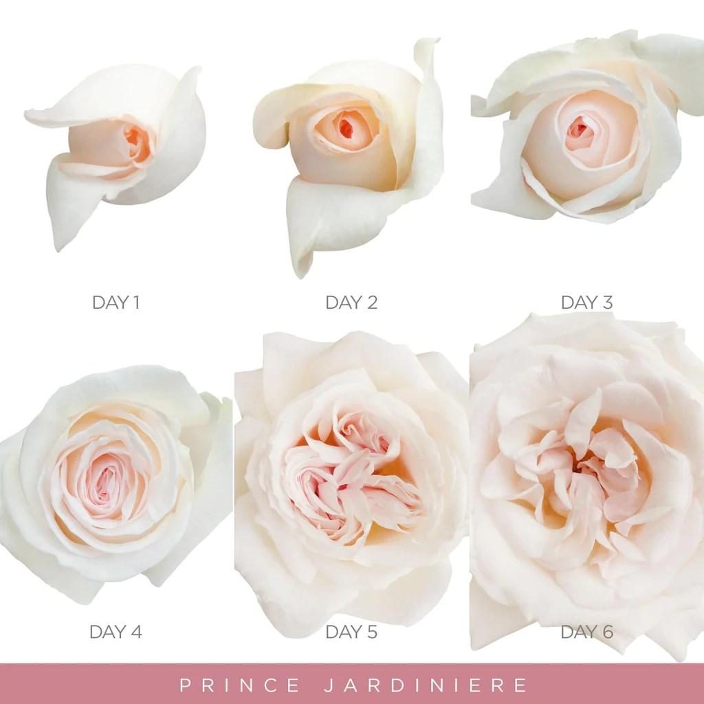 12/05/2015· a rose garden can be as simple as a single rose specimen interspersed with a few other plants, or an elaborate landscape filled with multiple rose species, hardscape and arbors. Garden Roses Blush Pink Prince Jardiniere Scented Roses Ebloomsdirect Eblooms Farm Direct Inc