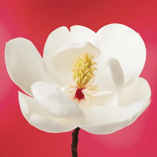 White Magnolia Flower Essence Elixir LOTUSWEI