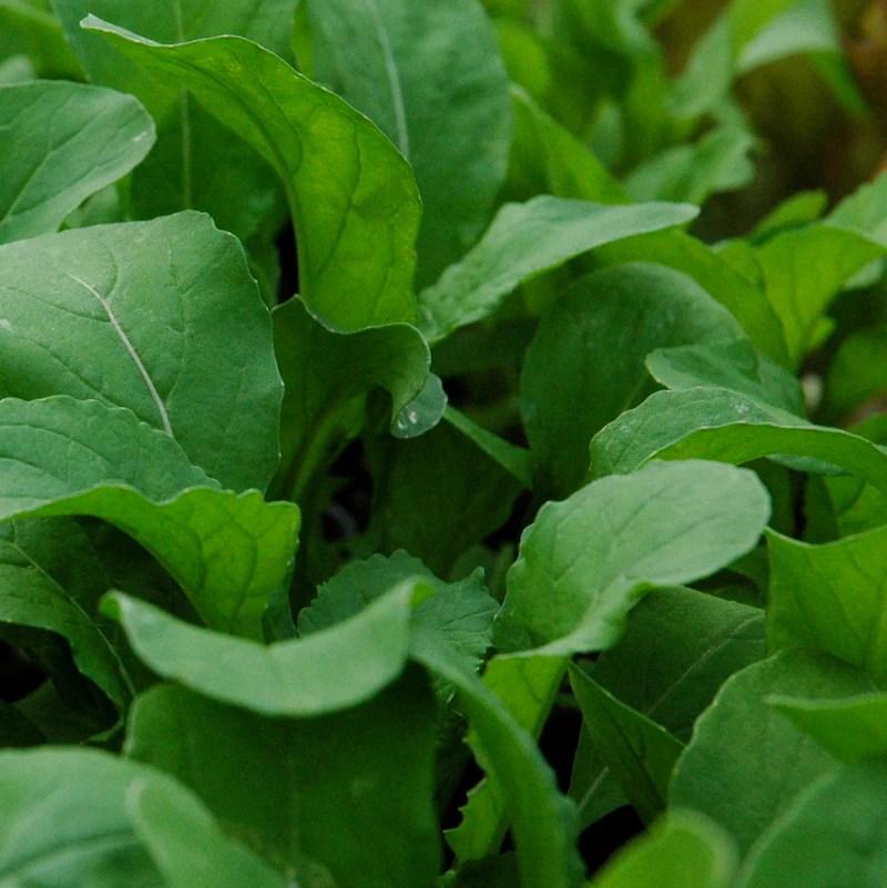 Arugula Lettuce Plants For Sale   Eruca Vesicaria Sativa   The Growers Exchange