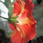Red Hibiscus Flower Back View Photo Print Wall Art Matted