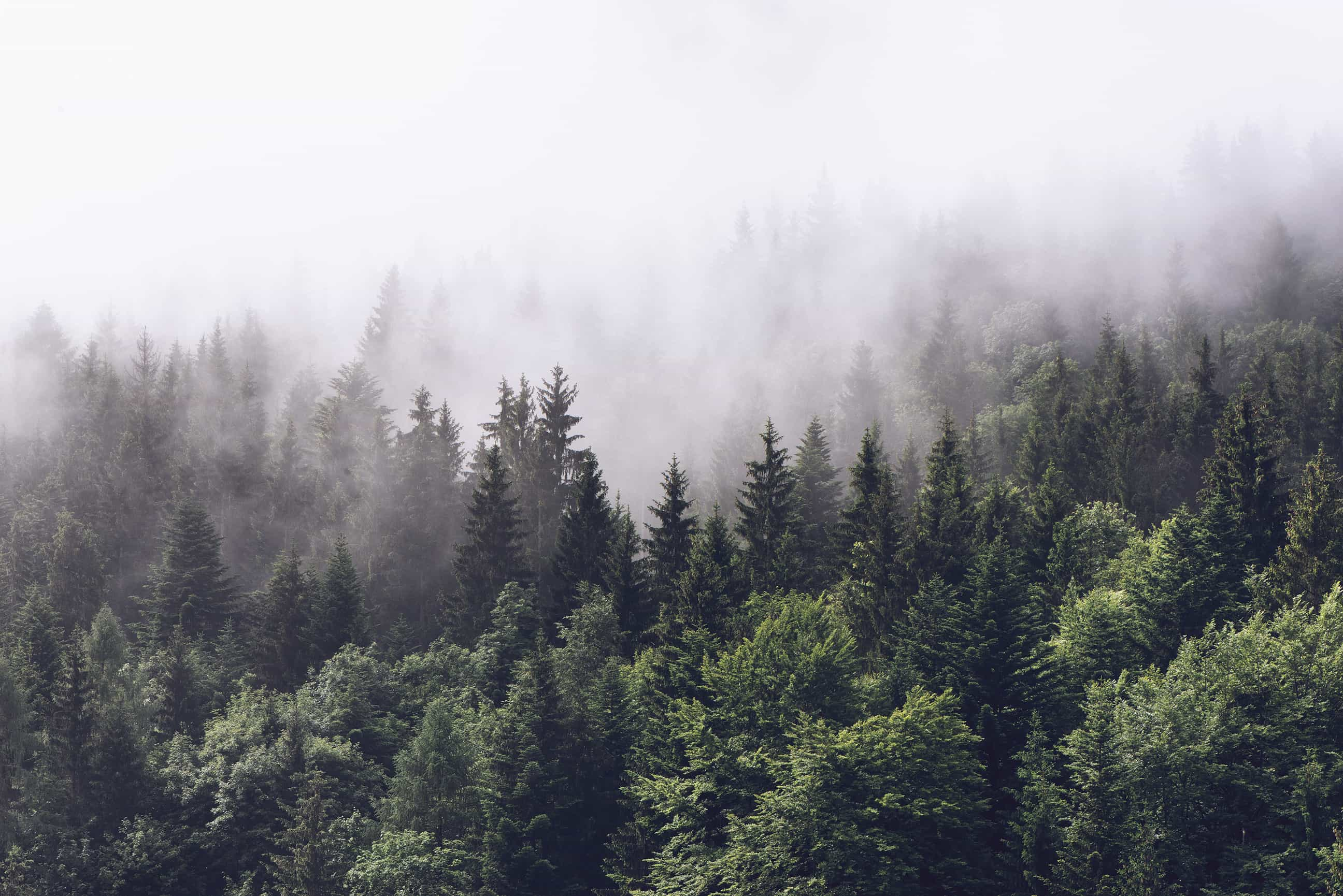 Download evergreen forest stock photos, royalty free images and vector illustrations for as low as $1. Evergreen Forest In Misty Clouds Wall Mural Misty Forest