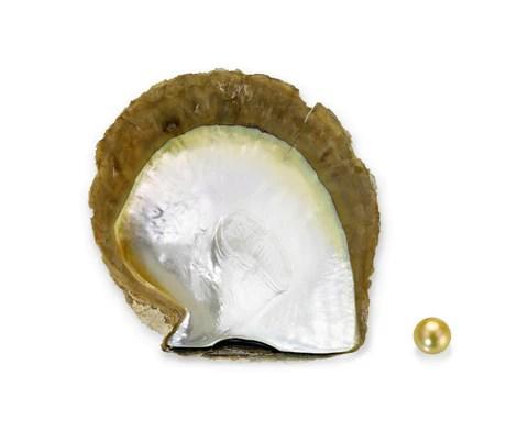 Gold-lipped Pinctada maxima oyster