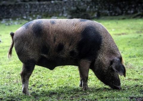 El manchado de Jabugo nació a principios del siglo XIX del encuentro fortuito de un macho blanco inglés y una hembra de Huelva.Luis de las Alas