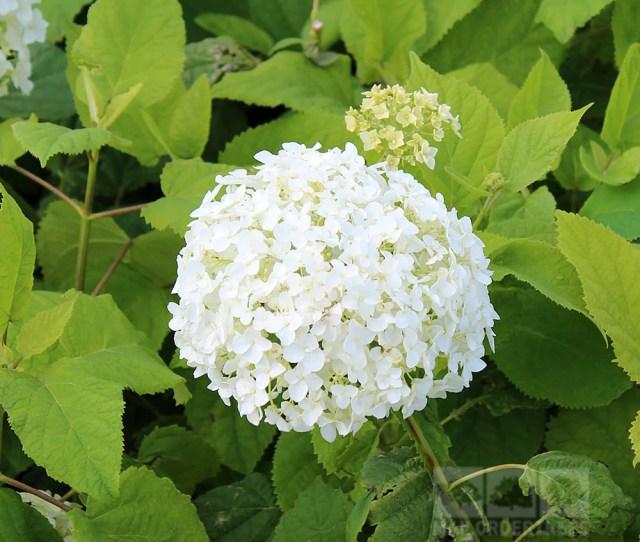 Hydrangea Annabelle Flower