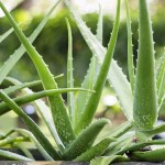 Aloe Vera In Skin Care And Makeup