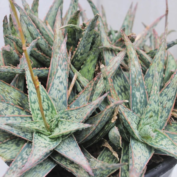 Wholesale Succulent Cuttings