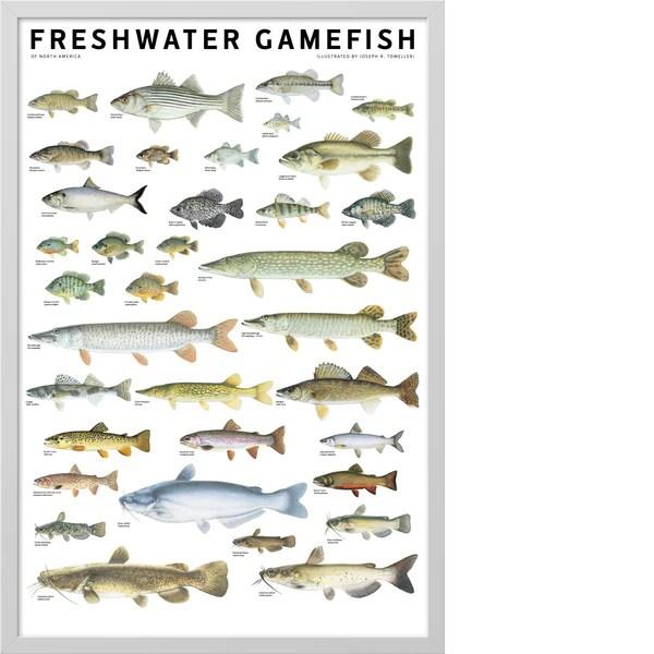 Freshwater Gamefish Of North America Poster Scott Amp Nix