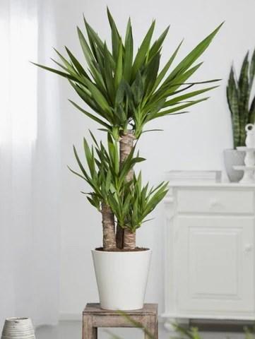 palm kamerplanten