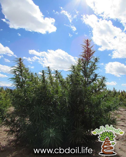 Hemp Plant in San Luis Valley, Colorado - Alamosa County - see That's Natural at www.cbdoil.life