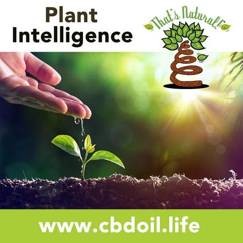Precious plant compounds in That's Natural full spectrum CBD-rich hemp oil include other cannabinoids besides CBD (CBDA, CBC, CBG, CBN), terpenes (beta-myrcene, linalool, d-limonene, alpha-pinene, humulene, beta-caryophyllene) and polyphenols - See more about safe and effective hemp-derived CBD oil from Thats Natural at www.cbdoil.life and cbdoil.life