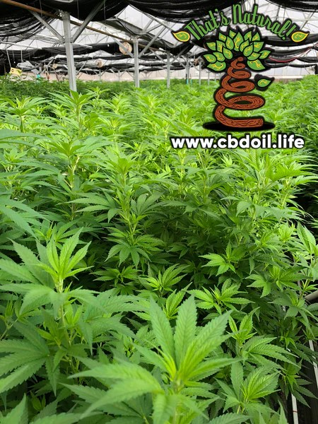 hemp-derived CBD, legal in all 50 States, That's Natural Farms - Cannabinoids, Terpenes, and the Entourage Effect with Supercritical CO2 extraction- CBD Oil from Colorado hemp legal in all 50 States - from Thats Natural at cbdoil.life, www.cbdoil.life, and thatsnatural.info, know your hemp farmer, traceability and transparency with CBD, trusted CBD, potent CBD oil, legal hemp CBD