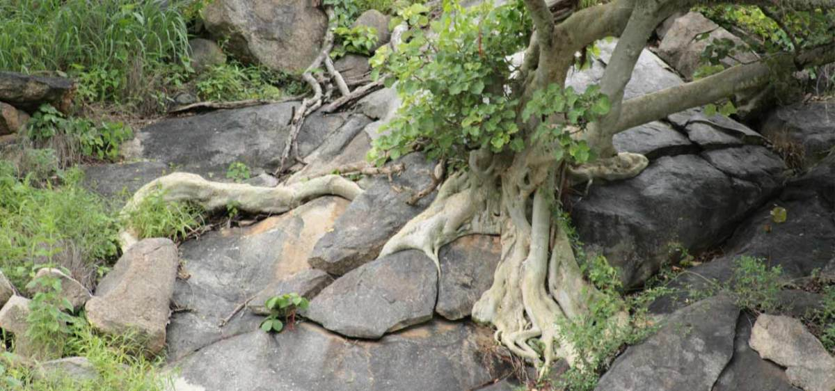 Ficus - Roots from the sky