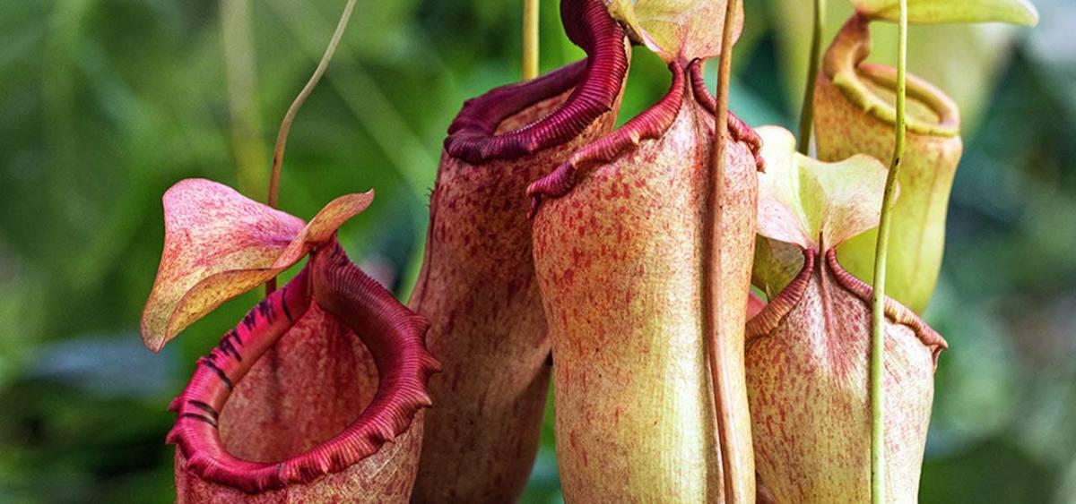 Nepenthes Essentials
