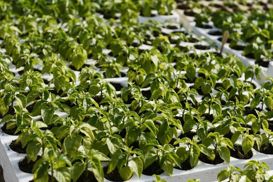hot pepper saplings pepper joe s